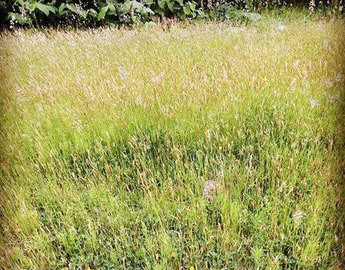 イネ科の花粉_ハルガヤ